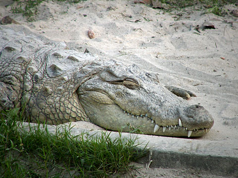 Lazy Crocodile