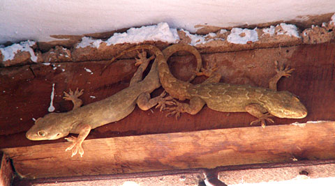 how to get rid of geckos on my porch